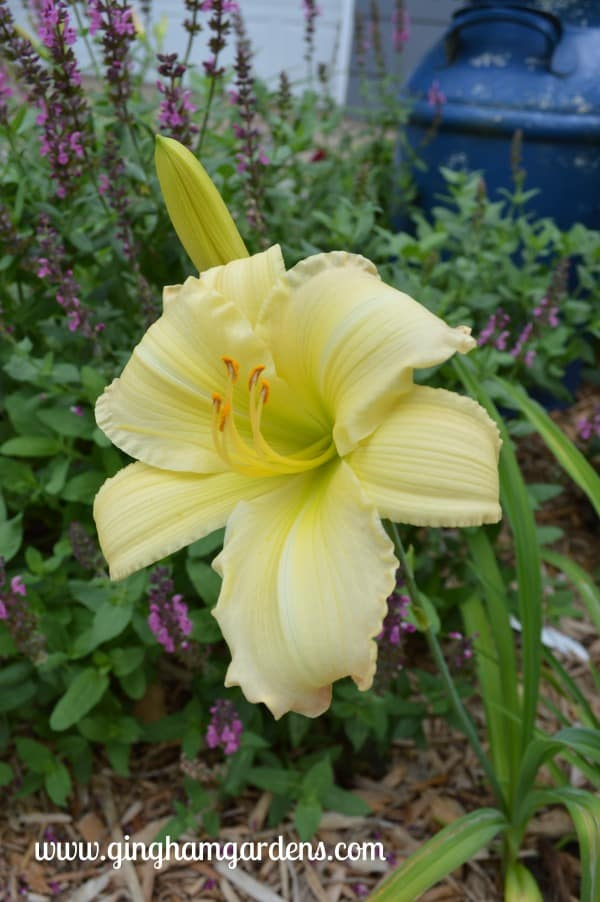 Daylily - Beautiful Edgings