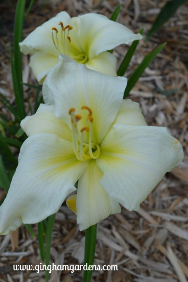 Daylily - First Lady Barbara