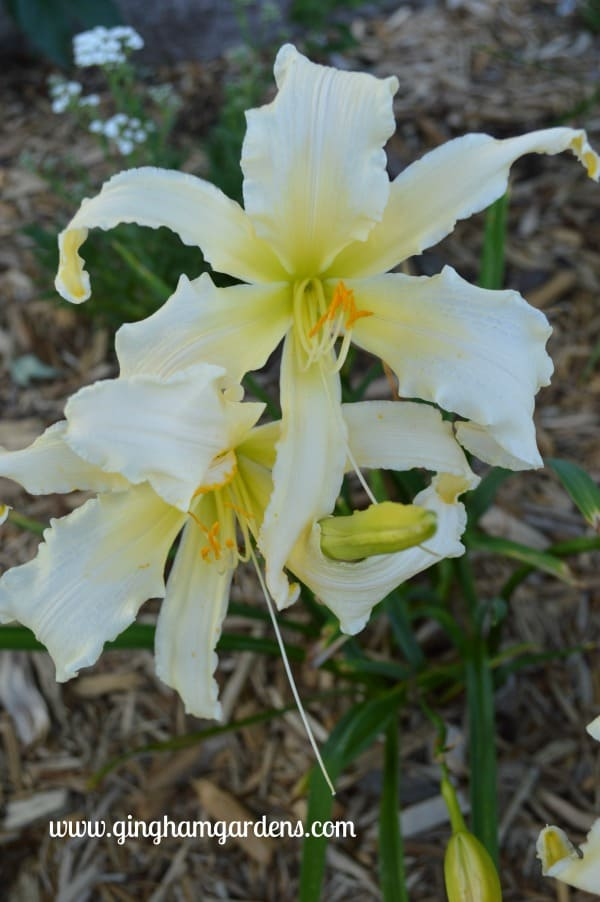 Daylily - Heavenly Angel Ice
