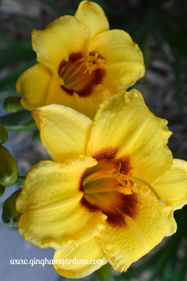 Daylily - Siloam June Bug