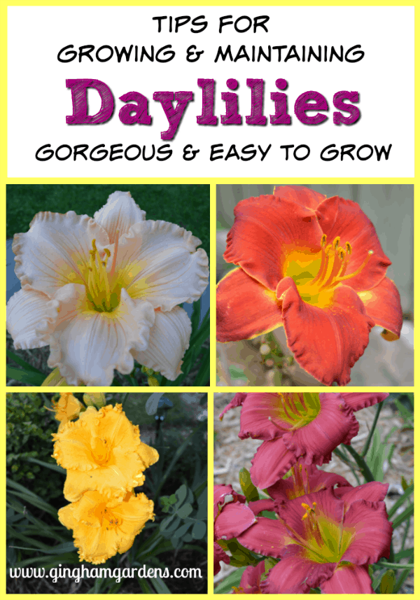 How to Grow & Maintain Daylilies