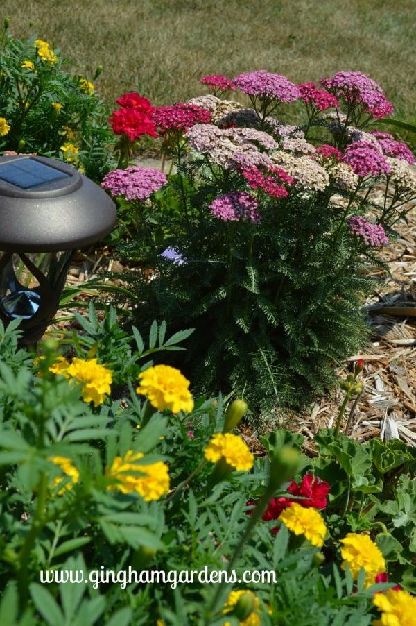 July Flower Garden Tour - Saucy Seduction Yarrow & Marigolds