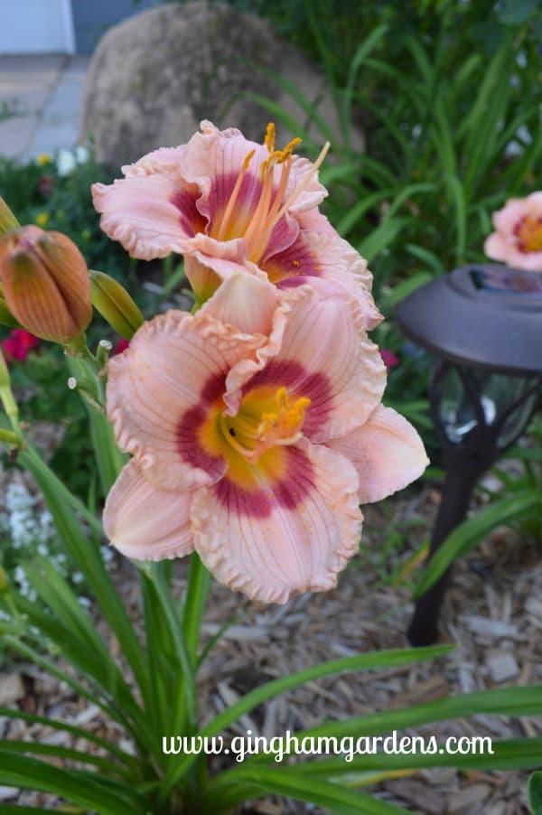 Little Pleasures Daylily - July Flower Garden Tour