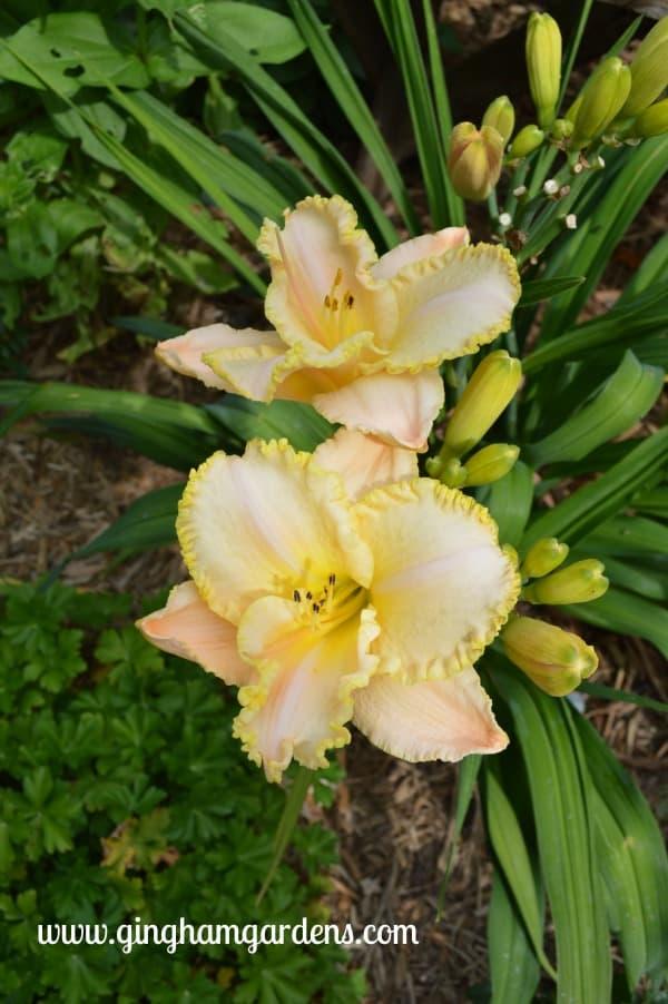 Moonlit Caress Daylily - July Flower Garden Tour