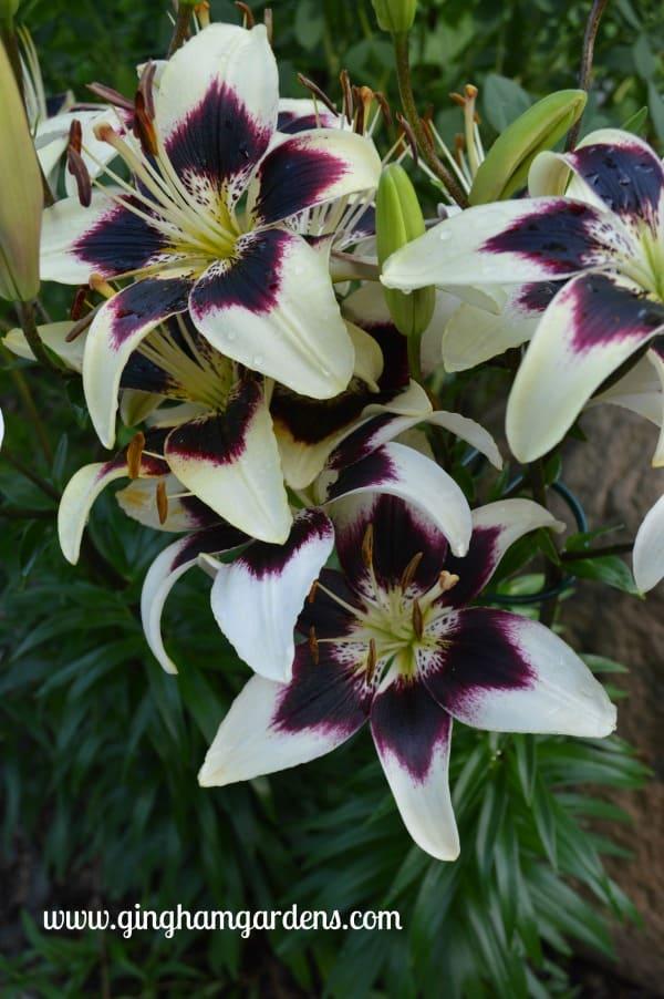 Patricia's Pride Asiatic Lilies - July Flower Garden Tour