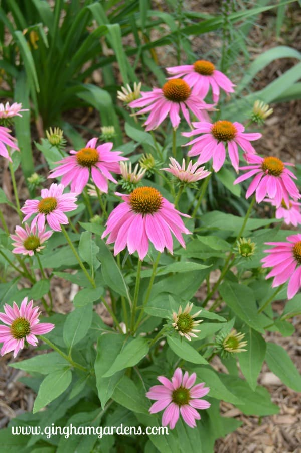 Pow Wow Coneflower - July Flower Garden Tour