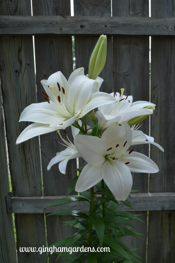 White Lily - July Flower Garden Tour