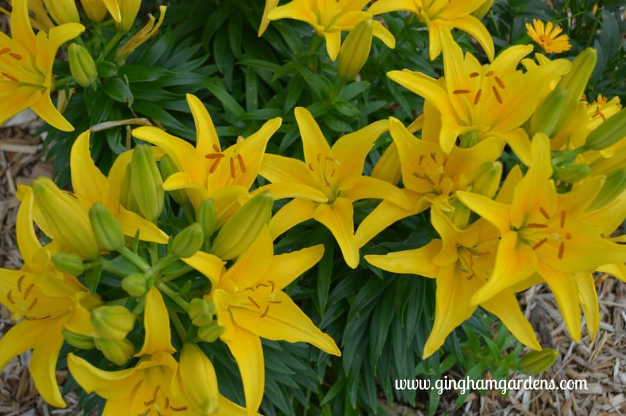 Asiatic Lilies - Yellow Tiny Glow