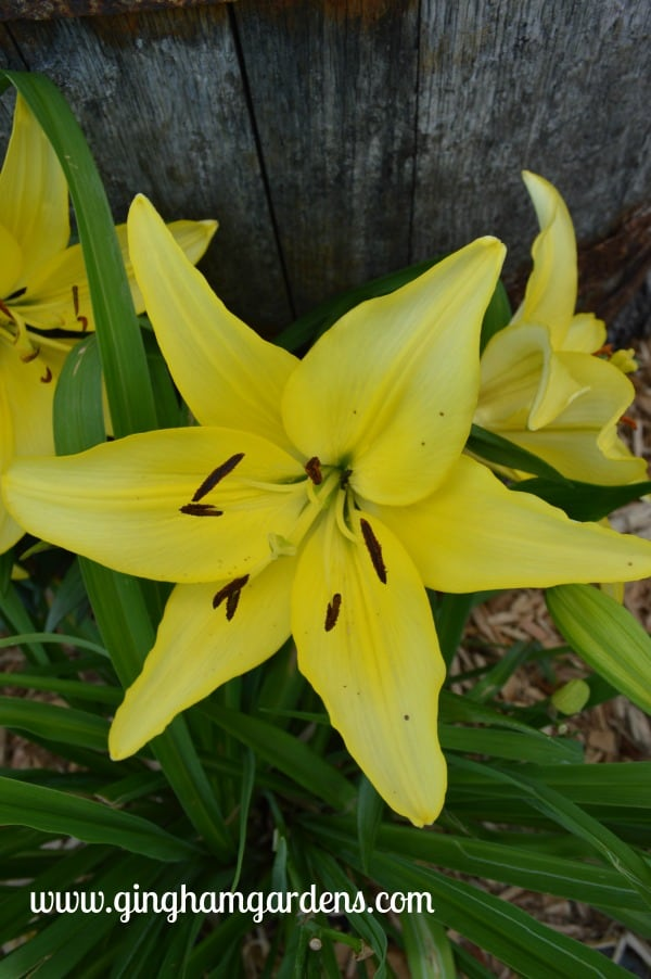 Yellow Power Asiatic Lily