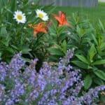 Flower Garden - Walker's Low Catmint, Becky Shasta Daisies & Orange Asiatic Lilies