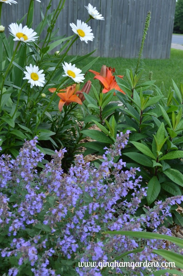 Flower Garden - Walker's Low Catmint, Becky Shasta Daisies & Orange Asiatic Lilies