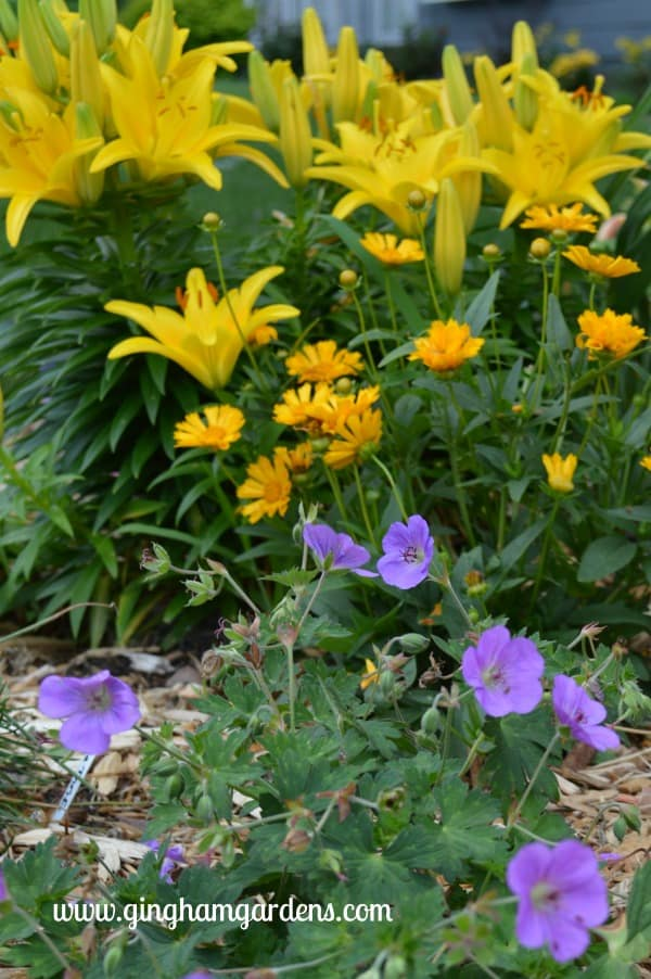 Yellow Asiatic Lilies, Jethro Tull Coreopsis & Roxanne Geranium - Flower Garden Makeover