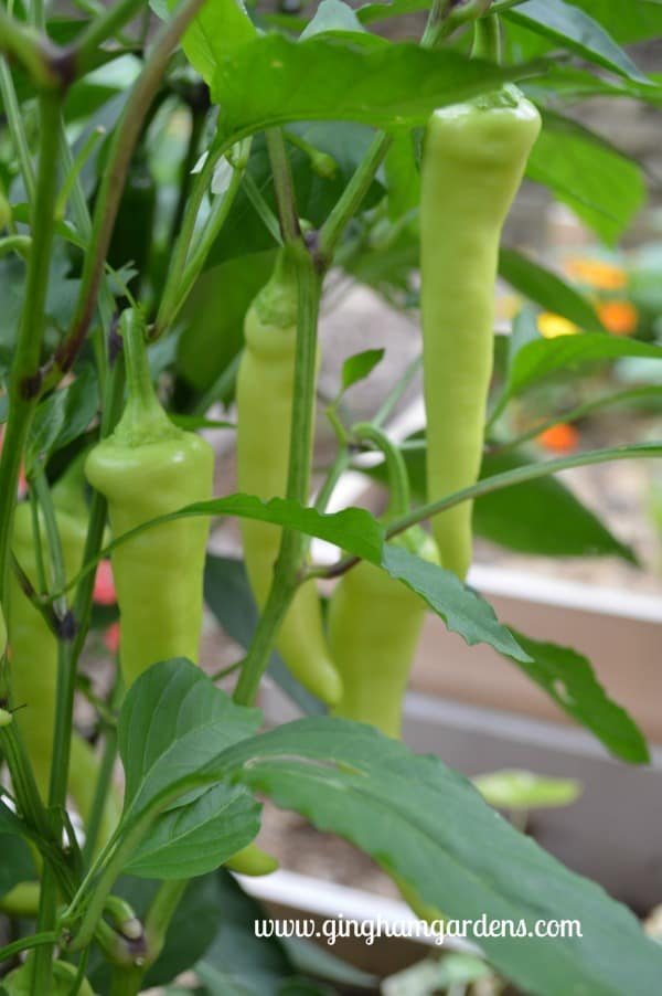 Banana Peppers - Tips for Gardening in August