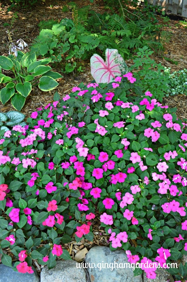 Impatiens - Tips on Gardening in August