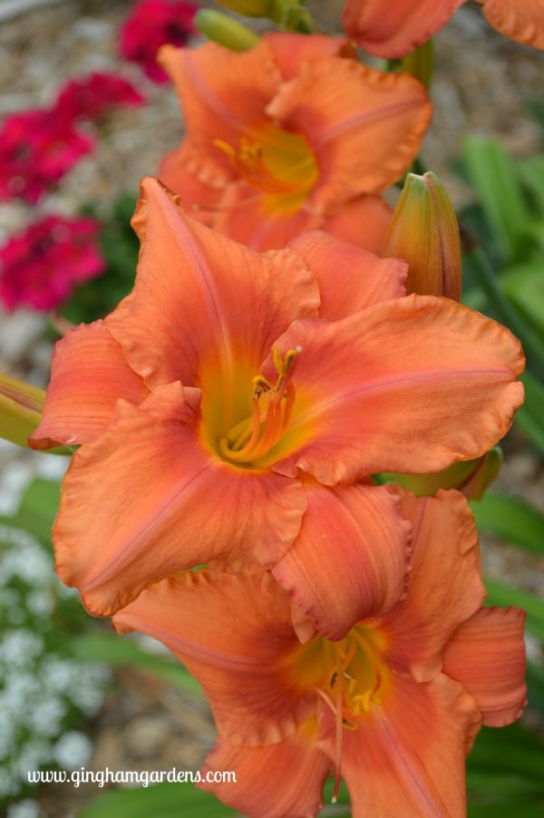 South Seas Daylily - Tips for Gardening in Late Summer