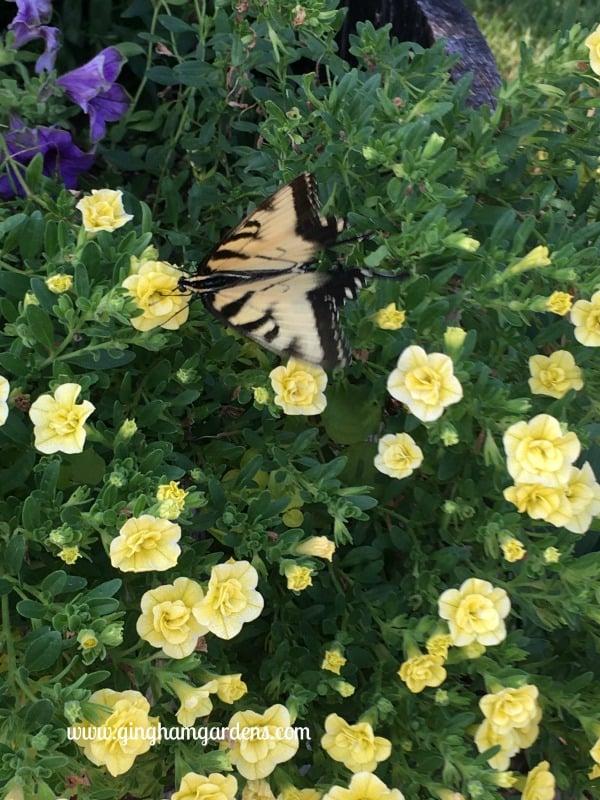 Tiger Swallowtail Butterfly - End of Summer Butterflies & Blooms