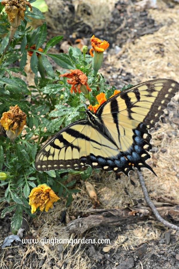 Female Tiger Swallowtail - End of Summer Butterflies and Blooms