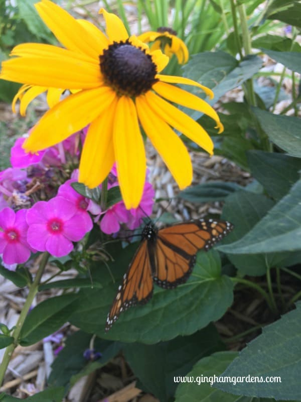 Monarch Butterfly on Phlox - End of Summer Butterflies & Blooms