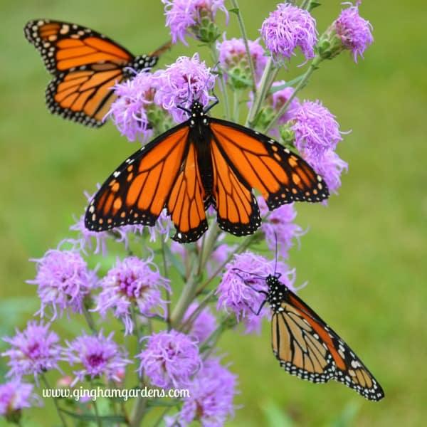 Monarch Butterflies on Meadow Blazingstar Liatris - End of Summer Butterflies & Blooms