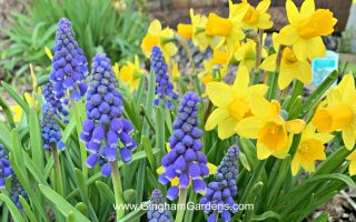 Grape Hyacinth and Daffodils - Plant Spring Bulbs in the Fall