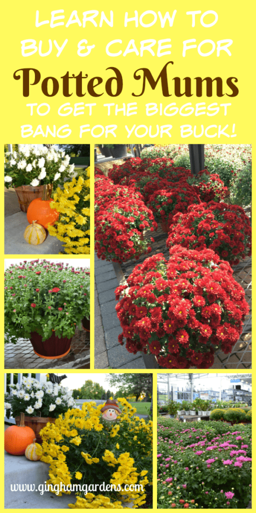 Potted Mums - Tips on Buying and Caring for Potted Mums in the Fall