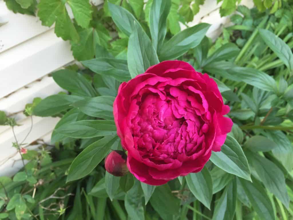 Peony - Gingham Gardens Readers' Garden Tour