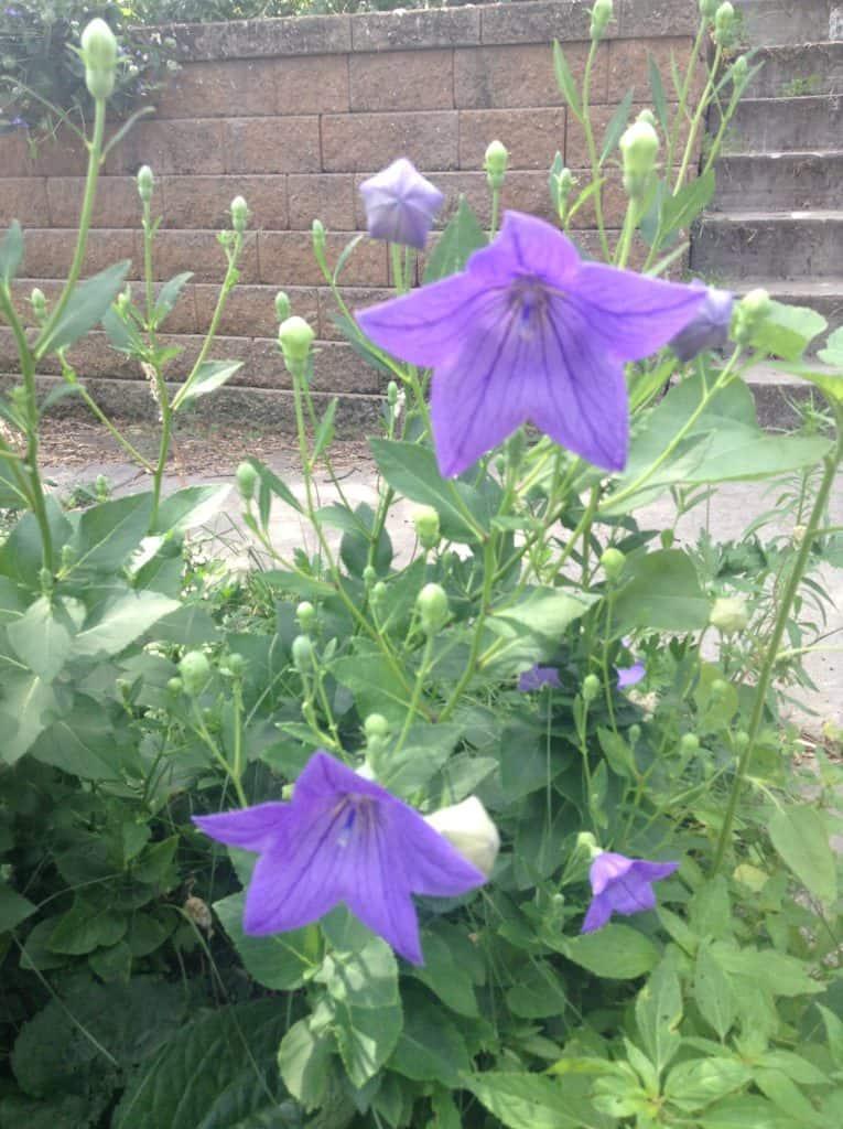 Balloon Flowers - Gingham Gardens Readers' Garden Tour