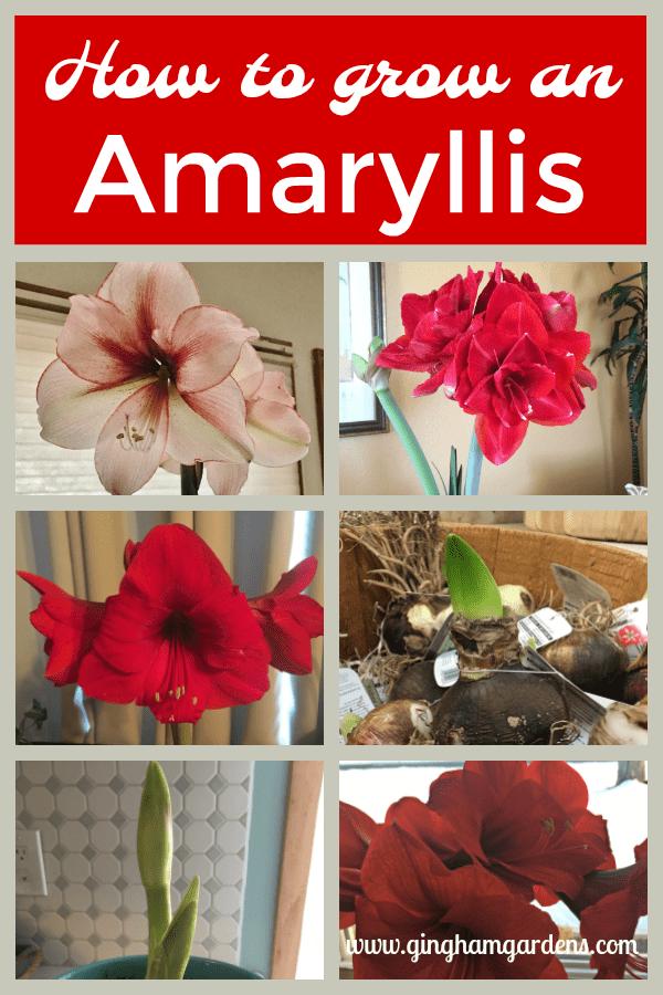 Easy Tips for Growing Amaryllis Indoors