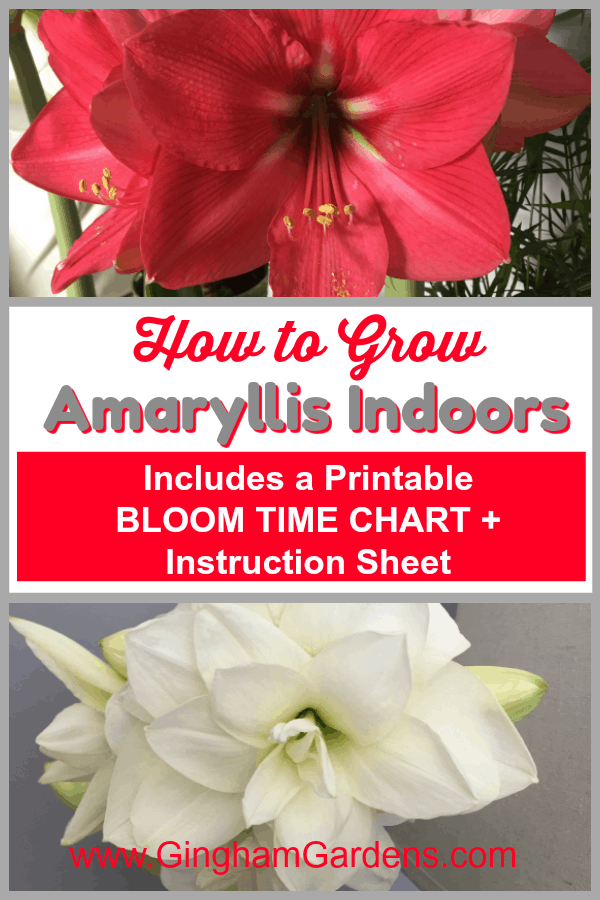 How to Grow Amaryllis Indoors