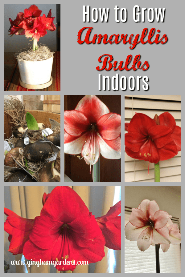 How to Grow Amaryllis Bulbs
