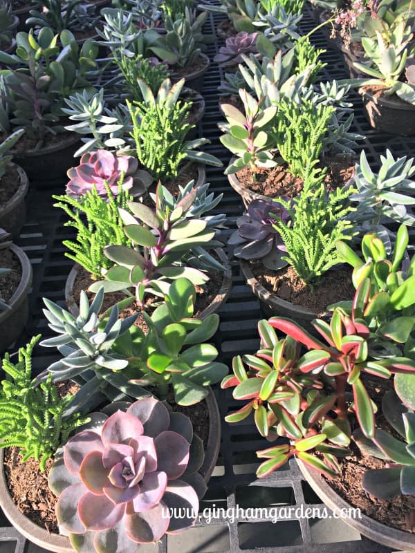 Plant a Succulent Garden - Things for Gardeners to do in Winter