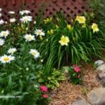 Shasta Daisies, Stella Supreme Daylilies and Vinca Flowers in a Low Maintenance Garden