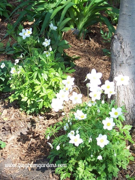 Japanese Anemone - Plants Not To Grow In Your Garden