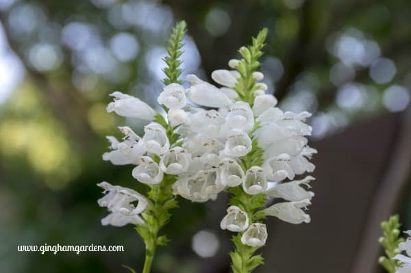 Obedient Plant - Beautiful Flowers You Don't Want In Your Gardens