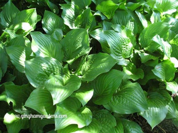Royal Standard Hosta - Ugly Plants Not to Plant in Your Garden