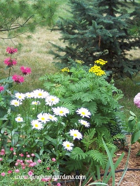 Tansy, with Shasta Daisies and Bee Balm