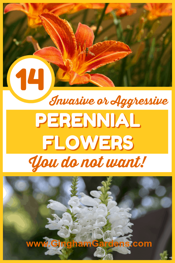 Invasive & Aggressive Perennial Flowers