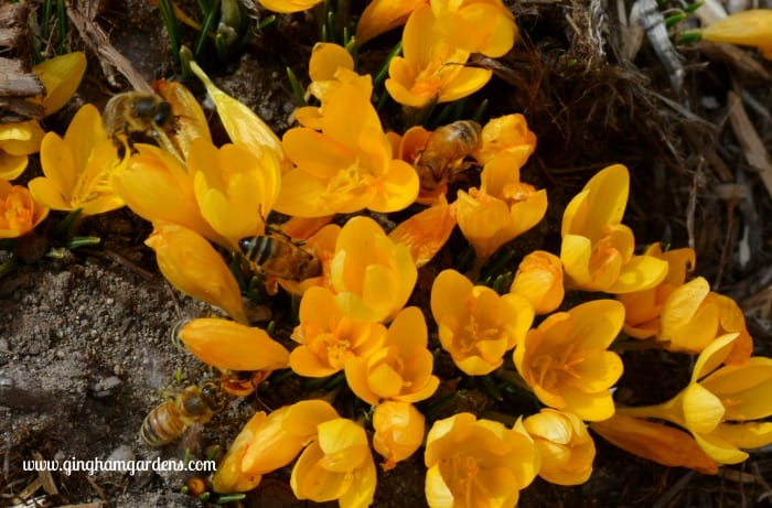 Bees On Yellow Crocus - How to Attract Pollinators to Your Garden