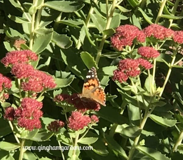 Painted Lady Butterfly on Sedum