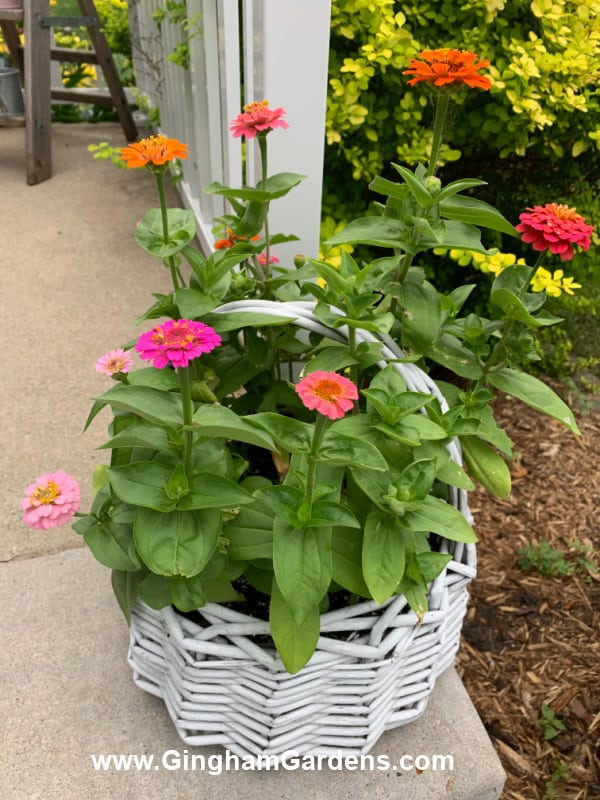 Zinnias in a Wicker Basket
