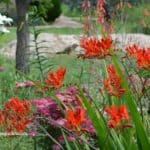 Hummingbird Drinking From Lucifer Crocosmia