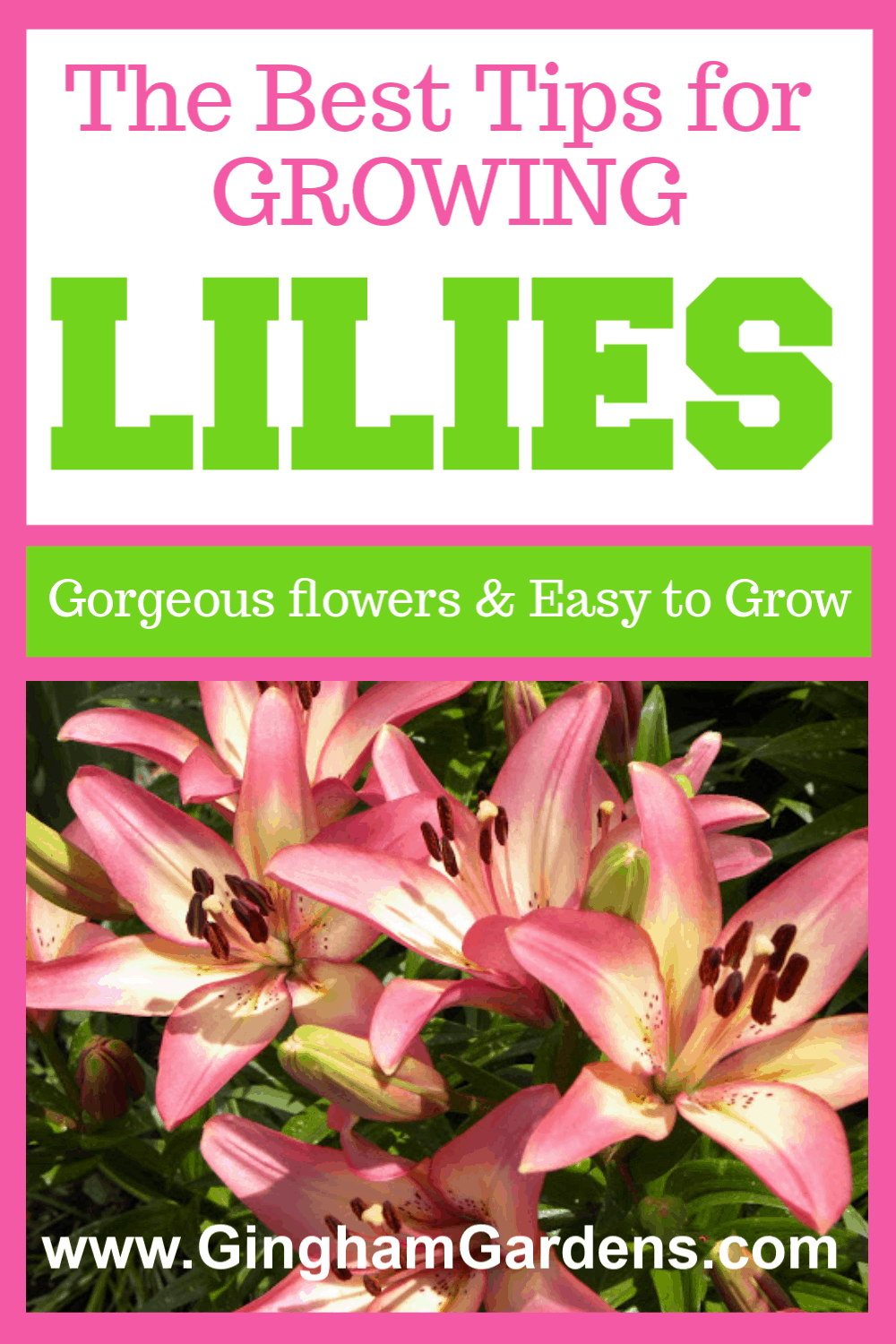 Image of Lilies with text overlay - The Best Tips for Growing Lilies