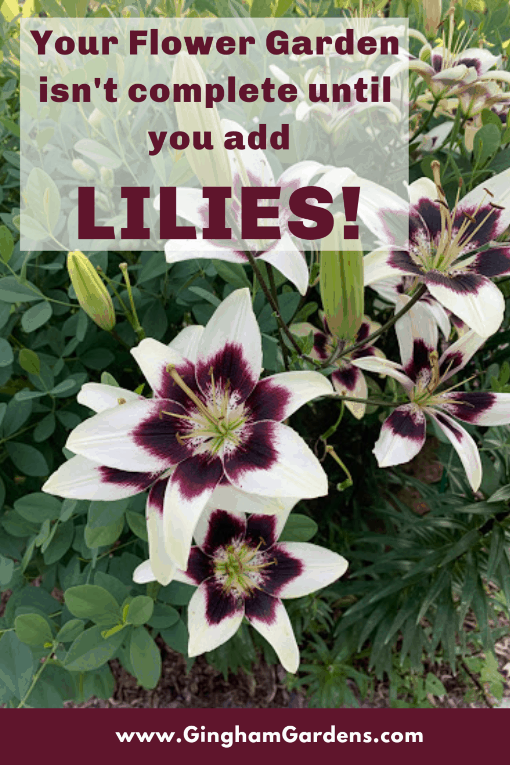 Image of Patricias Pride Lilies with Text Overlay - Your Flower Garden isn't complete until you add Lilies