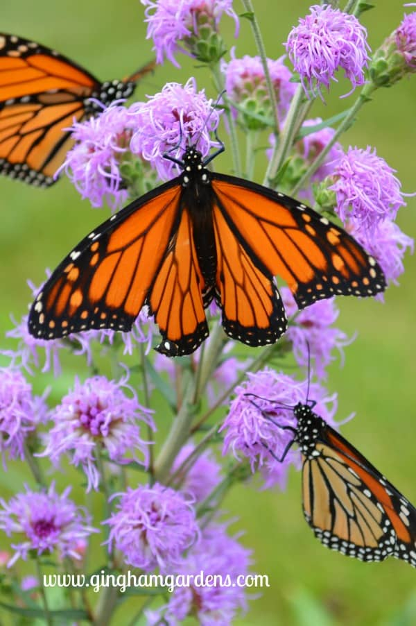 Monarch Butterfly on Meadow Blazingstar - How to Attract Pollinators to Your Garden