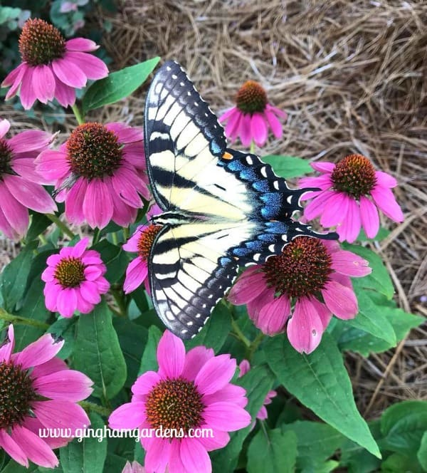 Swallowtail Butterfly on Coneflower - How to Attract Pollinators to Your Garden