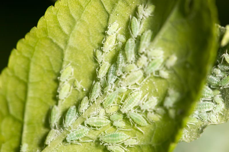 Aphids on Plant Leaf