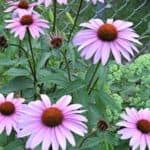 Coneflowers - Cutting Garden Flowers