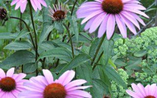 Coneflowers - Cutting Garden Flowers