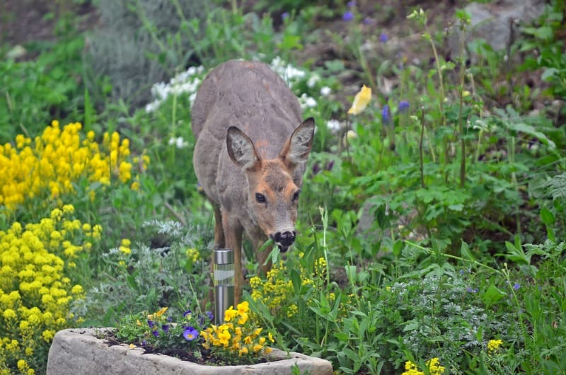 Dealing with garden pests gingham gardens - How to keep deer out of garden home remedies ...