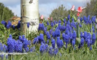 Grape Hyacinths in a Spring Garden